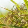 [自然農法]わら一本の革命